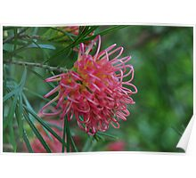 Grevillea Pink Ribbons Poster