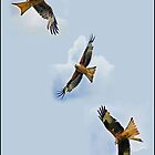 Red kites of Rhayader by almaalice