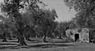 The Olive Grove - Puglia, Italy by Debbie Pinard