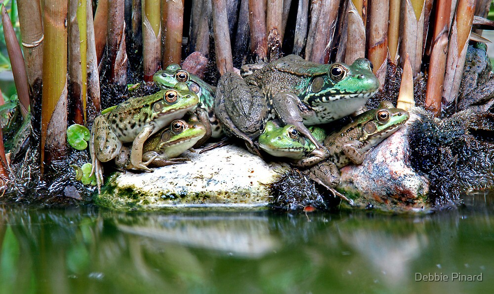 Frog Pile - My Backyard Pond by Debbie Pinard