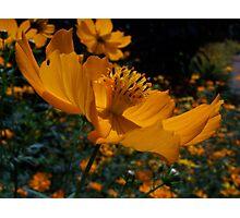 African Yellow Flower - Tanzania Photographic Print