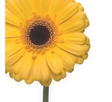 Square Yellow Gerbera Flower Photographic Print