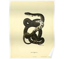 North American Herpetology A Desciption of the Reptiles Inhabiting the United States Chichowski John Edwards Holbrook 1836  0200 Snake Poster