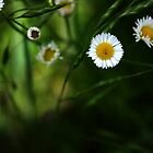Fleabane Wildflower by Phillip  Judy