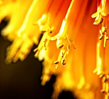 Red Hot Tips.  (red hot pokers, macro) by Karen  Betts