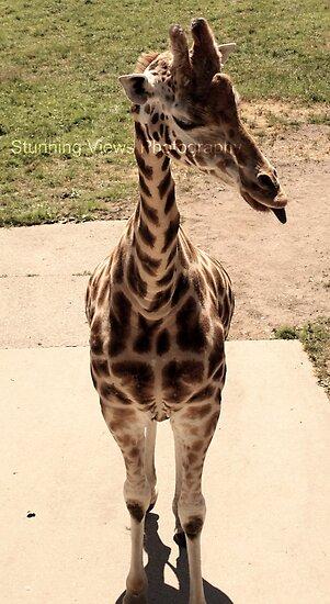 Giraffes are cute by Oceanna Solloway