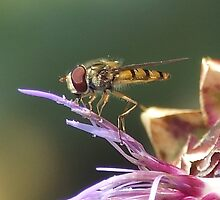 HOVERFLY AND THISTLE by ALAN BOWSKILL