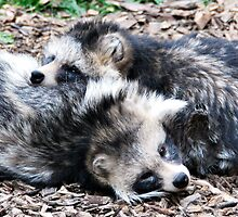 Together (Raccoon Dogs) by Paul  McIntyre