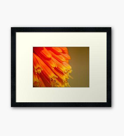Red Hot Orange  (Macro red hot poker) Framed Print