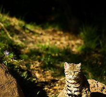 African Black Footed Cat by Kate Krutzner