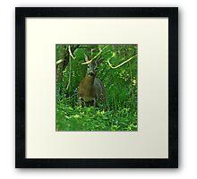 Roe Buck Framed Print
