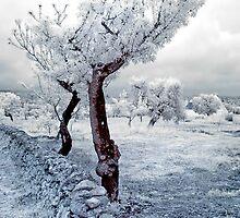 Olive Tree in Puglia by Debbie Pinard