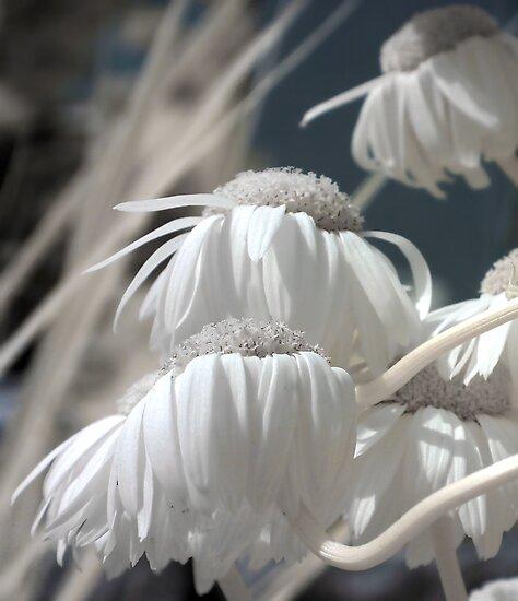 Bleached Daisies by Debbie Pinard