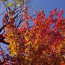 Firey Tree and Deep Blue Sky by SBrown