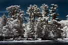 Pines Along the Ottawa River - Infrared by Debbie Pinard