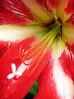 Hippeastrum by Maria  Gonzalez