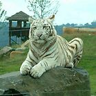 White Tiger by jasongambone74