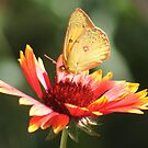 Yellow Butterfly by Arla M. Ruggles