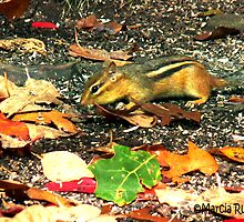 Busy little Chipmunk by Marcia Rubin