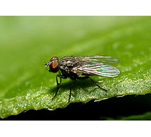 Micro Fly Photographic Print