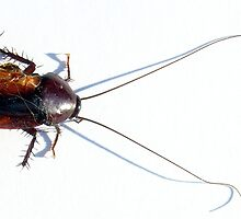 Palmetto Cockroach by Cameron Hampton