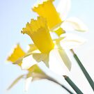 Sunny Daffodils on Blue Sky by Ra12