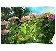 Hydrangea Morning Poster