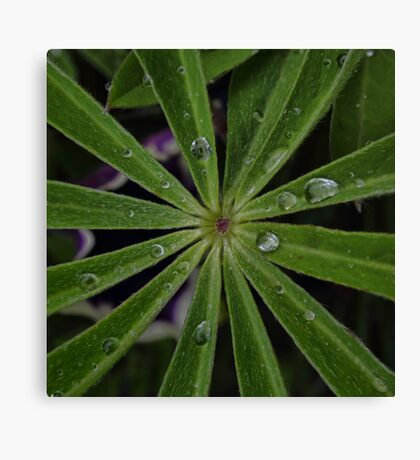 Wet lupin leaf Canvas Print
