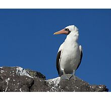 Blue-Footed Booby - Galapagos Photographic Print