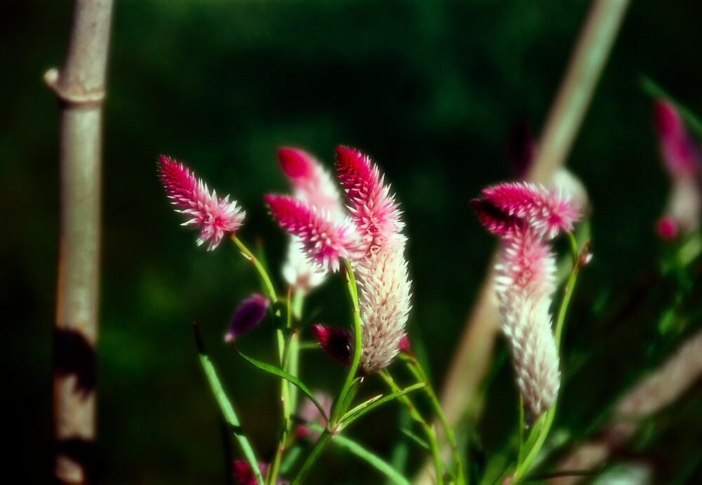 Purple Fluff - Rutgers Gardens by David Clayton