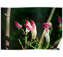 Purple Fluff - Rutgers Gardens Poster