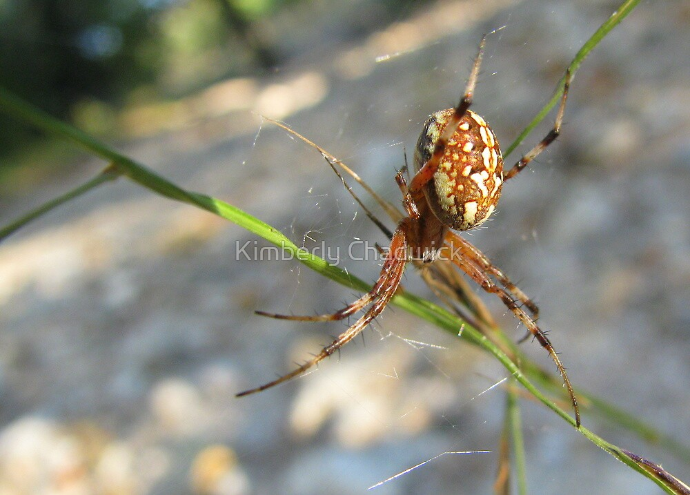 Marbled Orb-weaver by Kimberly Chadwick