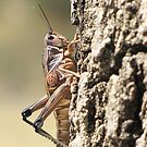 Plains Lubber Grasshopper ~ Female by Kimberly Chadwick