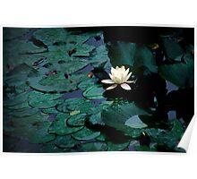 Water Lily - Asticou Azalea Garden Poster