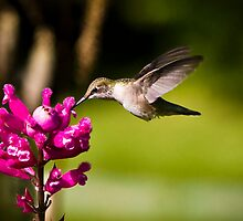 Hummingbird Feeding - Thuya Garden by David Clayton