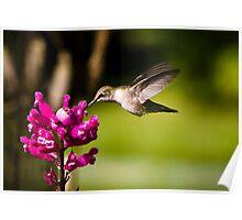 Hummingbird Feeding - Thuya Garden Poster