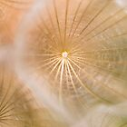 Dandelion #1 - Antietam National Battlefield by David Clayton