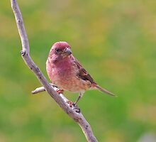 Purple Finch - Male by Lynda   McDonald