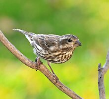 Purple Finch - Female by Lynda  McDonald