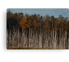 Birches (Autumn 2010) Canvas Print