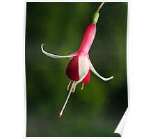 Fuchsia Checkerboard - single bloom Poster