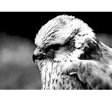 A Saker Falcon in B&W Photographic Print
