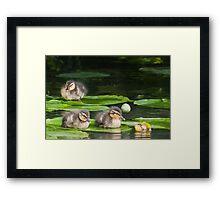 Baby Mallards on Lily Pad Framed Print