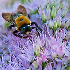BUMBLEBEE ON SEDUM by RGHunt