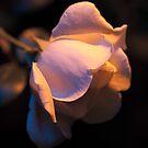Evening Rose by ElyseFradkin