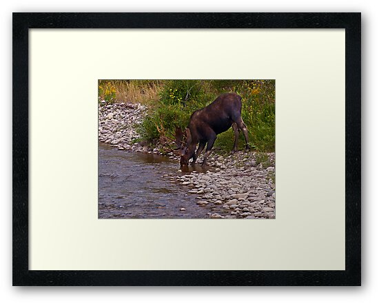 Thirsty Moose - Grand Tetons National Park, Wyoming by Kathy Weaver
