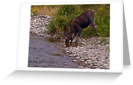 Thirsty Moose by Kathy Weaver