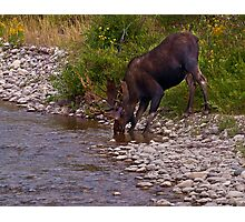 Thirsty Moose Photographic Print