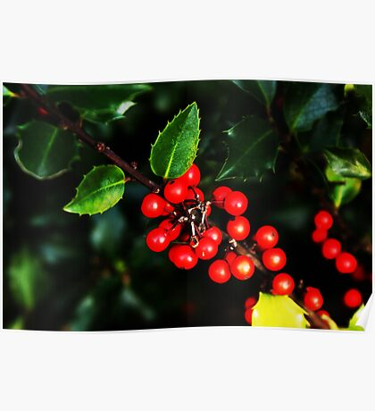 Little red holly berries.... Poster