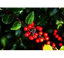 Little red holly berries.... Photographic Print